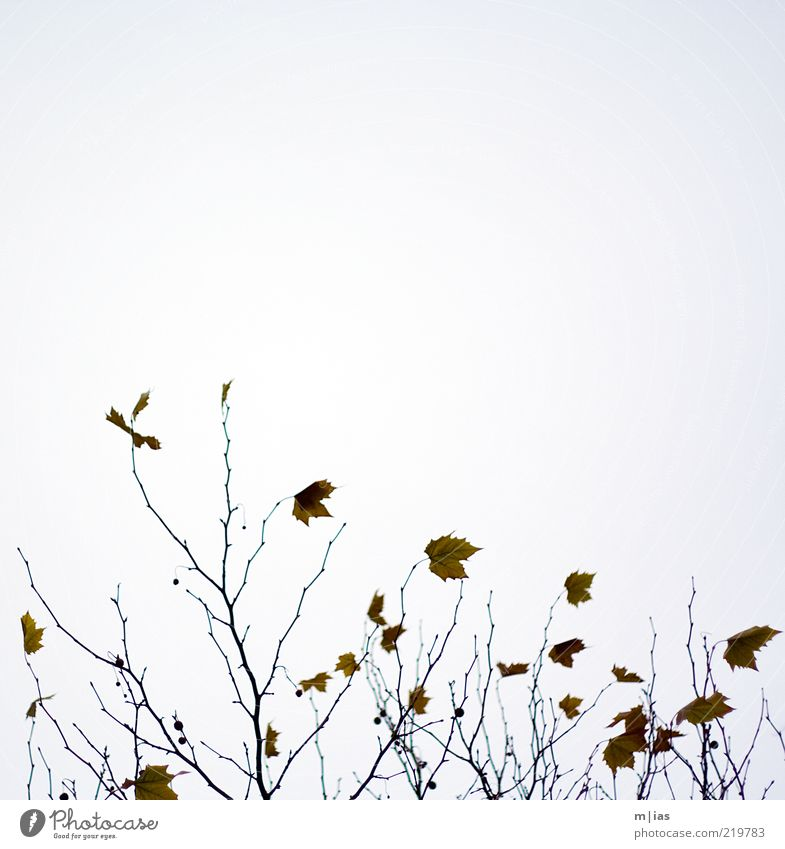 Herbst Natur Baum Pflanze Blatt Herbst Bewegung Wind Wetter Vergänglichkeit Ast Verfall Zweig abstrakt letzte herbstlich Wolkenloser Himmel