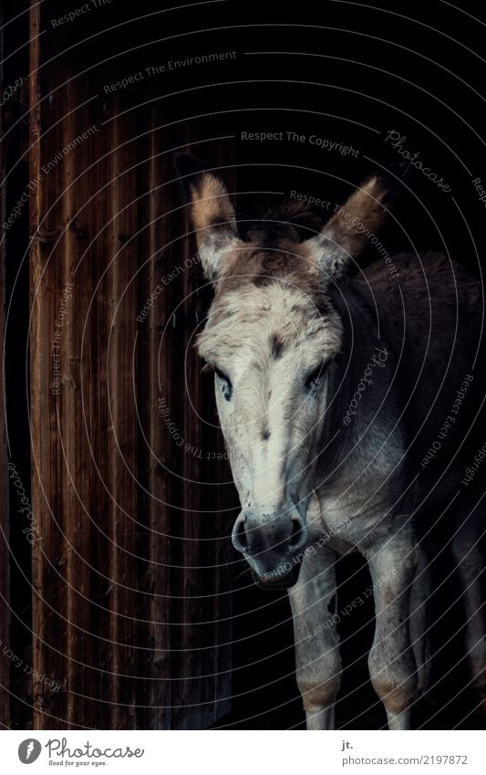 Esel im Scheunentor Natur 1 Tier Tür Stall Holz Blick dunkel trist braun weiß ernst stur Farbfoto Außenaufnahme Totale Blick in die Kamera