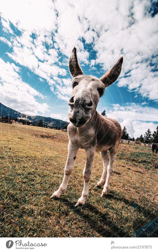 Esel Himmel Natur Pflanze blau grün Tier Wolken Berge u. Gebirge gelb Umwelt Herbst Wiese Gras braun stehen