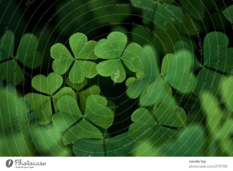 Glück Natur Pflanze Frühling Blatt Wiese Klee Kleeblatt Farbfoto mehrfarbig Außenaufnahme Menschenleer Textfreiraum oben Schwache Tiefenschärfe Glücksbringer