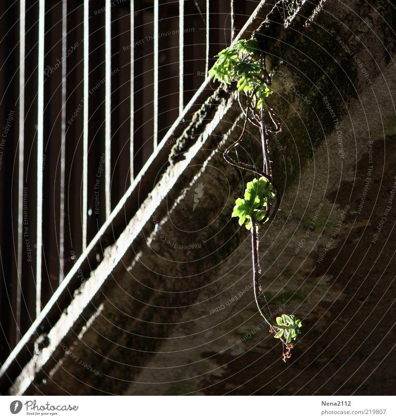 Kampf ums Leben Pflanze Haus Bauwerk Gebäude Mauer Wand Balkon Terrasse fallen hängen alt dunkel eckig trocken grün Einsamkeit Unbewohnt Altbau Gitter