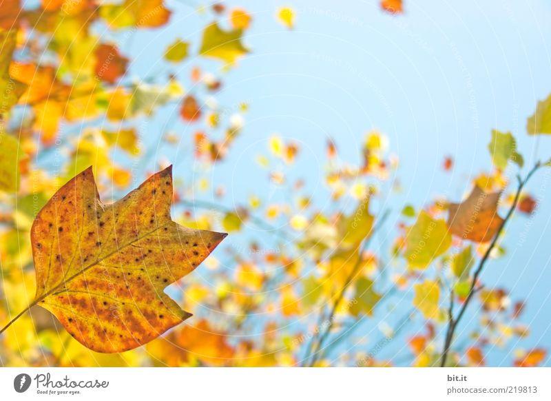 Frisch in den Herbst...(X) Natur Pflanze Luft Himmel Wolkenloser Himmel Klima Wetter Schönes Wetter Baum Blatt Grünpflanze blau gelb Umwelt Vergänglichkeit