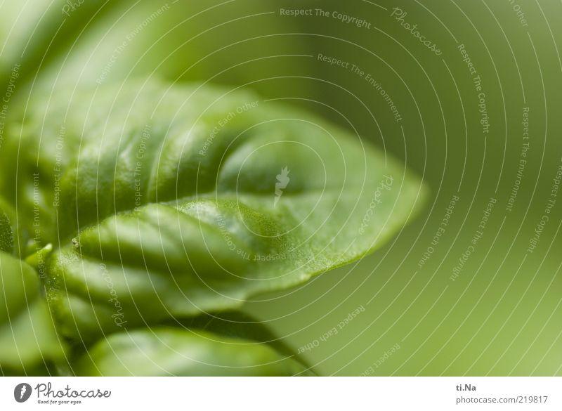 Genovese Kräuter & Gewürze Umwelt Natur Pflanze Blatt Nutzpflanze Basilikum Basilikumblatt Wachstum Gesundheit grün Farbfoto Außenaufnahme Menschenleer