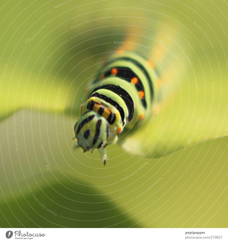 Übergang Natur grün Pflanze Sommer Blatt Tier Kopf klein orange Wildtier Tiergesicht Schönes Wetter Fressen Grünpflanze Raupe Perspektive