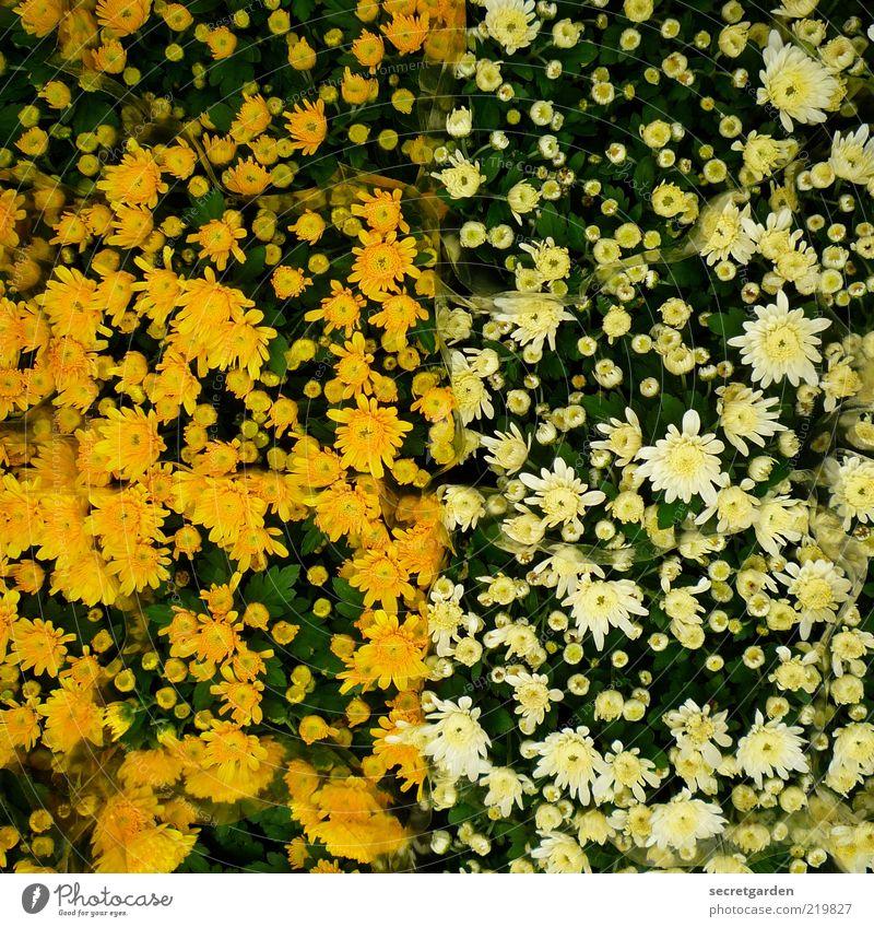 [HH 10.1] relativ voll. Natur weiß Blume Pflanze Sommer gelb Blüte Frühling Linie frisch Fröhlichkeit Warmherzigkeit Mitte Blühend Blütenknospen voll