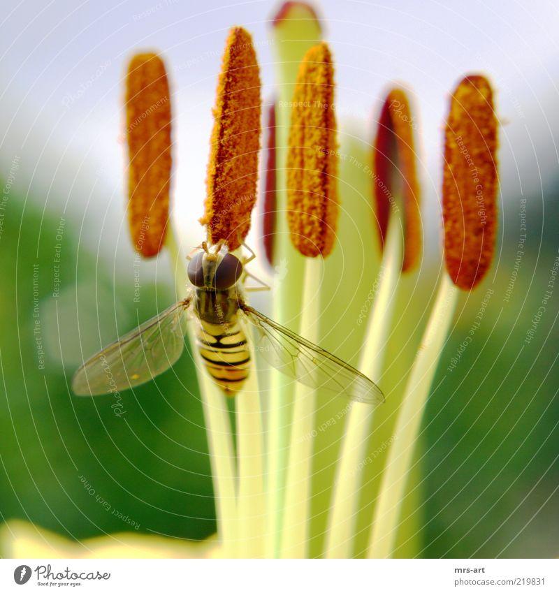 Honigmäulchen Natur Pflanze Tier Frühling Sommer Blatt Blüte Grünpflanze Fliege 1 Farbfoto Außenaufnahme Menschenleer Tag Kontrast Zentralperspektive Blick