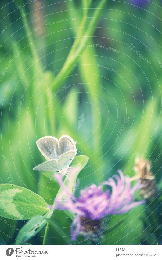 frühling im herbst Natur Pflanze Frühling Gras Blatt Blüte Grünpflanze Wildpflanze Kleeblüte Kleeblatt Wiese Tier Wildtier Schmetterling Flügel 1 braun grün