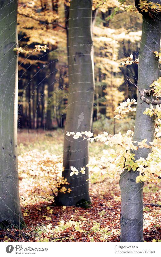 Wenn Waldraut sich nicht in den Wald traut Umwelt Natur Landschaft Pflanze Erde Herbst Klima Klimawandel Wetter Baum Waldboden Blatt Farbfoto Außenaufnahme Tag