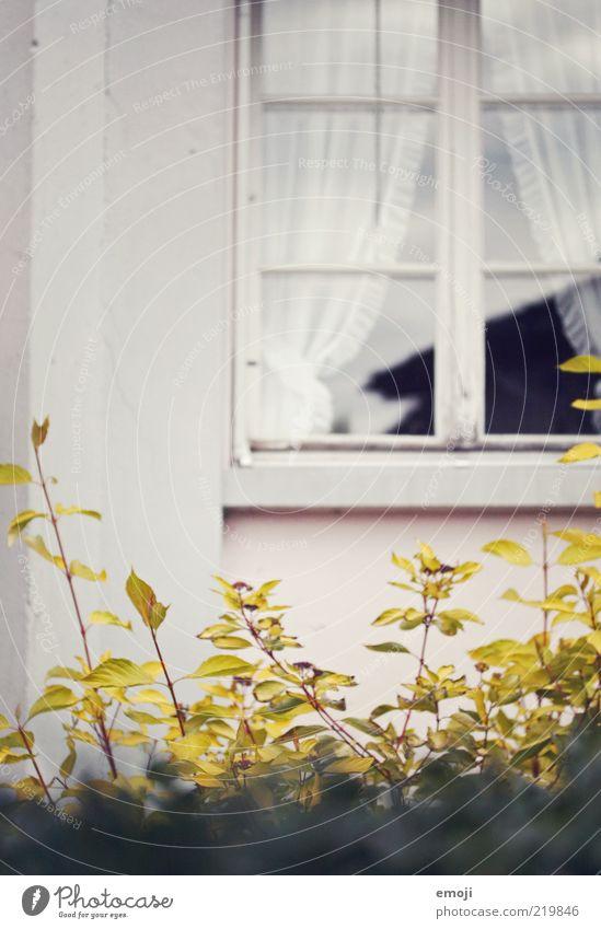 hinter den Gardinen alt Pflanze Blatt Wand Fenster Mauer Gebäude Fassade Sträucher Häusliches Leben einzigartig Fensterscheibe Hecke Altbau Herbstlaub