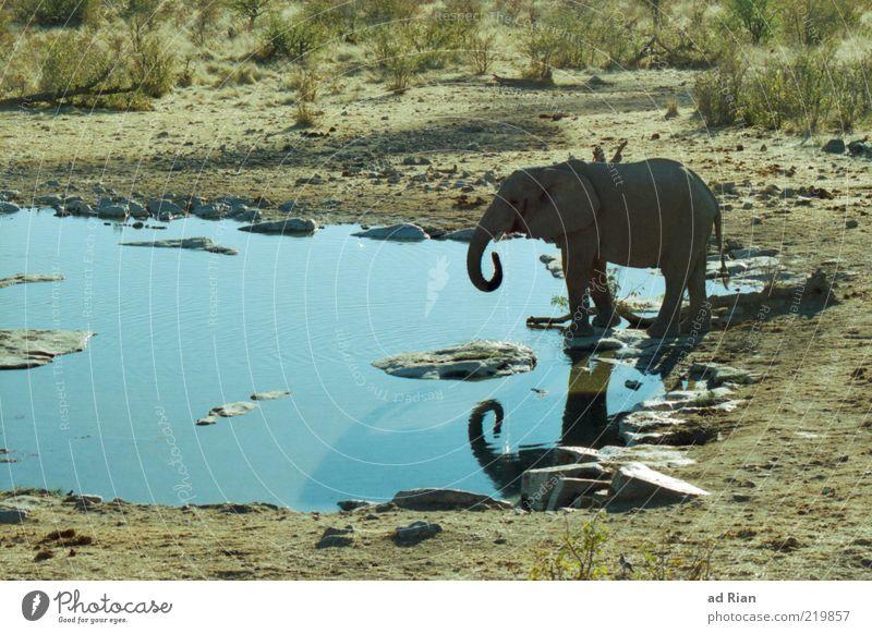 Elefantenbad Natur Wasser Tier Wildtier 1 wild Farbfoto Tierjunges Elefantenbaby Rüssel Wasserstelle Wasseroberfläche Textfreiraum links Steppe Savanne