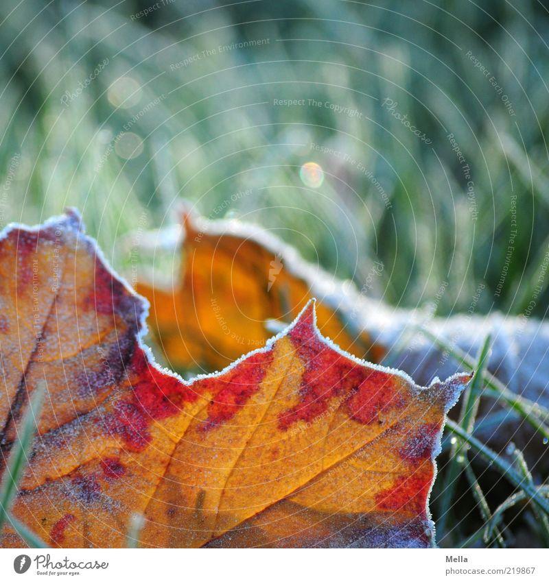 Teilweise Herbst Umwelt Natur Erde Winter Klima Klimawandel Eis Frost Pflanze Gras Blatt Wiese frieren liegen kalt natürlich grün rot Stimmung Verfall