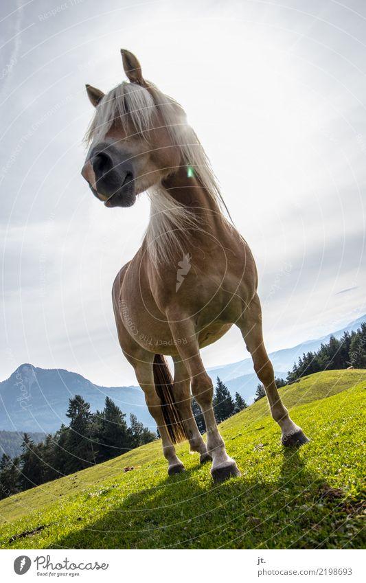 Pferd auf Almwiese Reiten Ferien & Urlaub & Reisen Berge u. Gebirge wandern Reitsport Umwelt Natur Landschaft Himmel Sonne Herbst Schönes Wetter Gras Wald Hügel