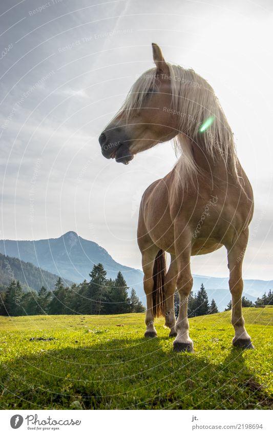 Pferd auf Almwiese Reiten Berge u. Gebirge Reitsport Natur Landschaft Himmel Sonne Schönes Wetter Gras Wald 1 Tier stehen frei schön stark blau braun grau ruhig