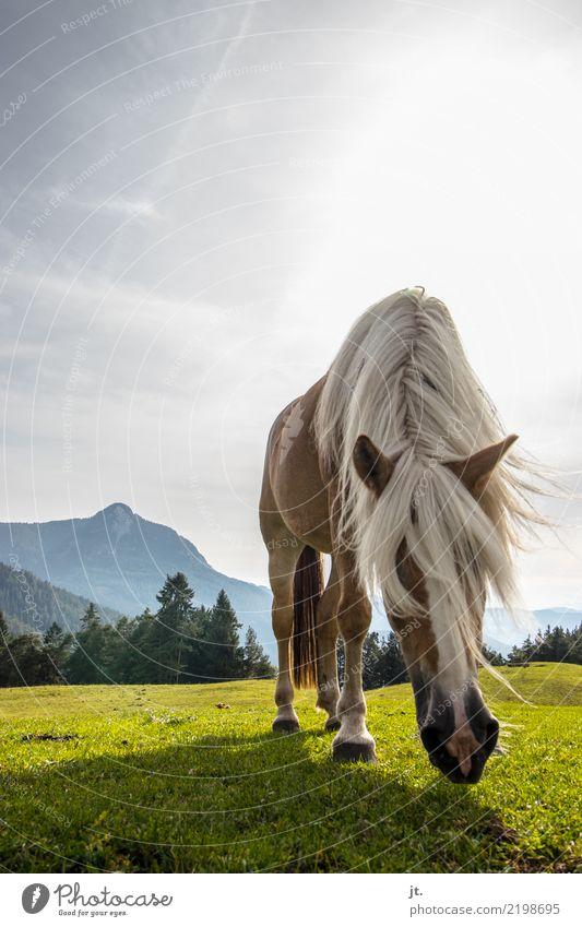 Pferd auf Almwiese Reiten Berge u. Gebirge Reitsport Natur Landschaft Himmel Sonne Schönes Wetter Gras Wiese Wald 1 Tier Fressen wandern blau braun grün schön