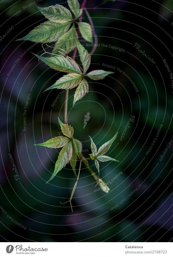 Wilder Wein Natur Pflanze Herbst Blatt Ranke Garten Wald verblüht wandern ästhetisch blau grün violett schwarz Stimmung Vergänglichkeit Wandel & Veränderung