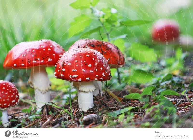Fliegenpilze Pflanze Erde Pilz Farbe ruhig Giftpflanze rot grün Farbfoto Außenaufnahme