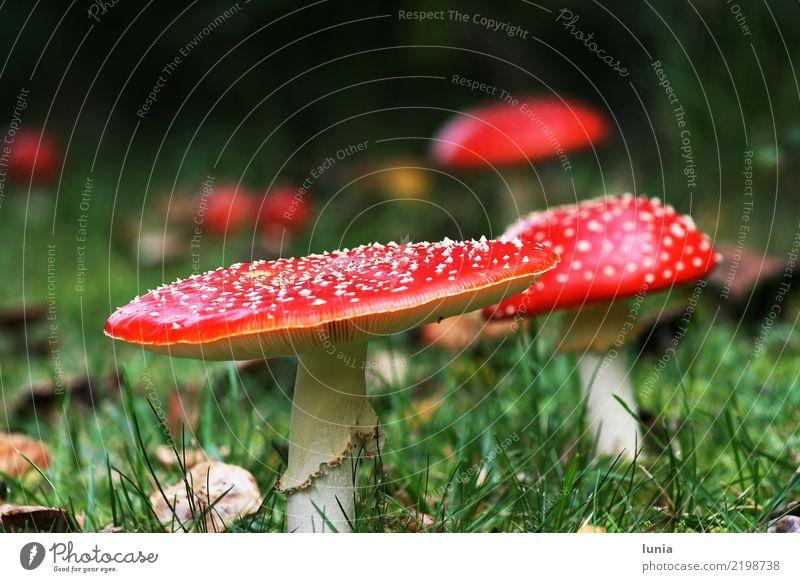Fliegenpilze Natur Pflanze schön Herbst Pilz Stolz