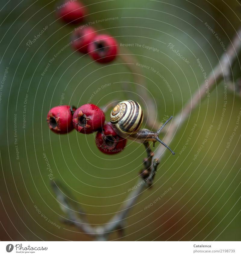 Schneckchen Natur Pflanze grün rot Tier gelb Umwelt Herbst Garten braun sportlich Schnecke Ausdauer beweglich achtsam Hecke