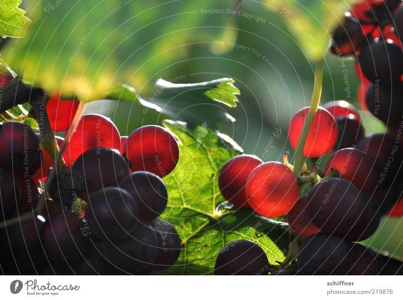 Spätburgunder am Stock I Nutzpflanze leuchten lecker Wein Weintrauben Weinbau Weinblatt Pinot Noir Weinlese lieblich Ernährung genießen Nahaufnahme Sonnenlicht
