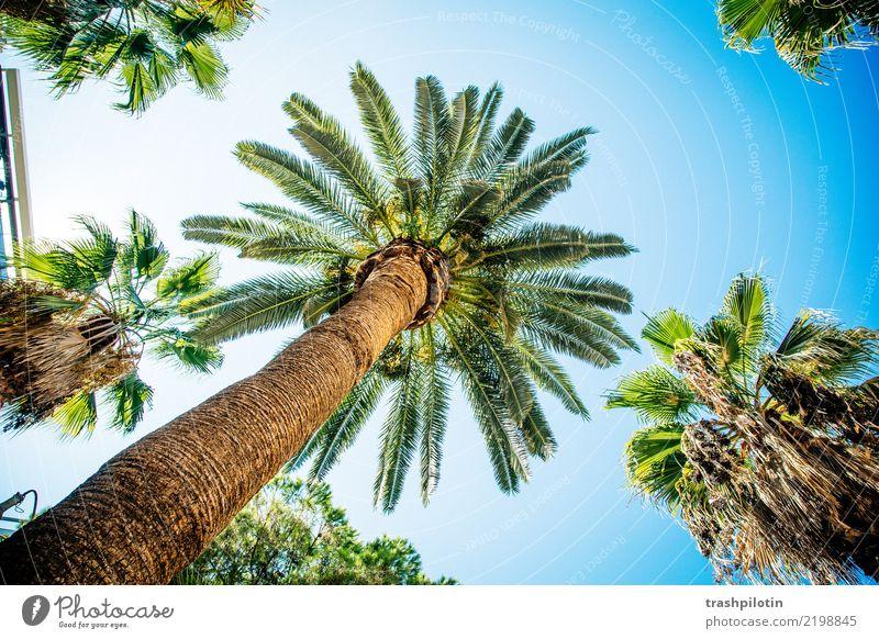 Palme Ferien & Urlaub & Reisen Tourismus Ausflug Abenteuer Ferne Freiheit Sightseeing Städtereise Kreuzfahrt Sommer Sommerurlaub Sonne Pflanze Baum Holz blau