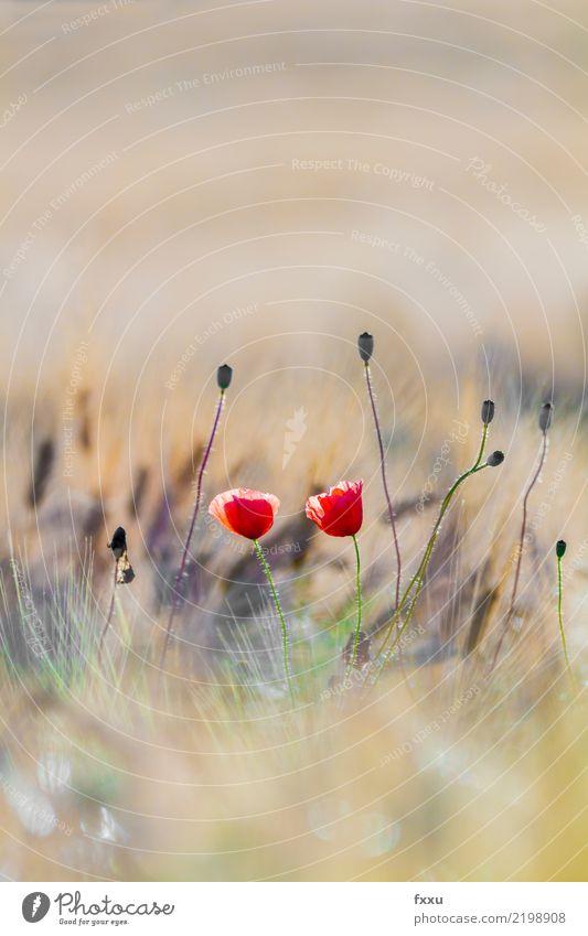Mohn Gerste Feld rot Getreide Sommer Postkarte Glückwünsche Geburtstag Natur Mohnblüte Kornfeld Blume Sonne Gegenlicht Pflanze Klatschmohn Blüte mehrfarbig