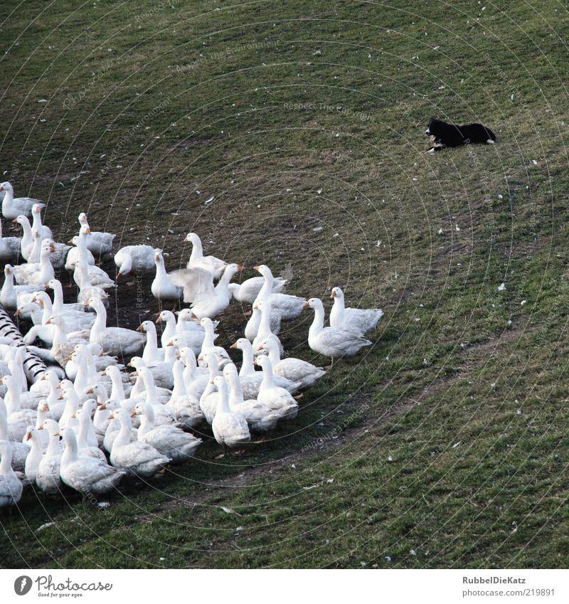 Meine Nachbarschaft Natur weiß Tier Wiese Gras Hund Umwelt Tiergruppe beobachten Weide Kontrolle Wachsamkeit Gans füttern Herde Schwarm