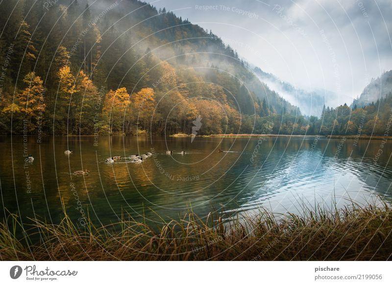 Hallo Herbst Natur Landschaft Wasser Nebel Wald Teich Tiergruppe natürlich braun Umwelt Ente Österreich Farbfoto Außenaufnahme Menschenleer Morgen