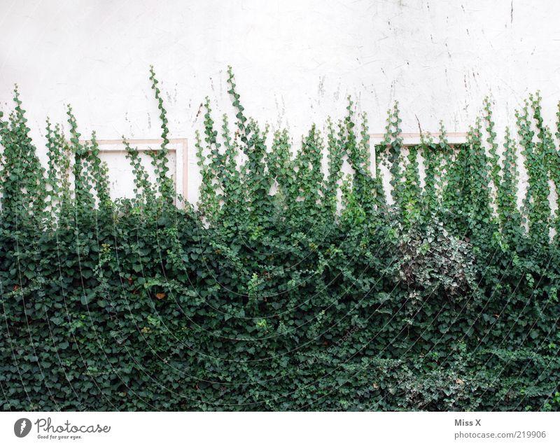 Efeumauer Pflanze Blatt Wand Mauer Wachstum Sträucher fantastisch eng Ranke Efeu Kletterpflanzen bewachsen Fensterrahmen Dornröschen