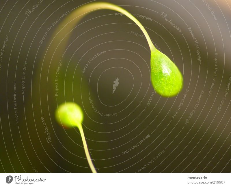 Moosblüte Natur Pflanze glänzend skurril Moos Jungpflanze Blattgrün leuchtend grün