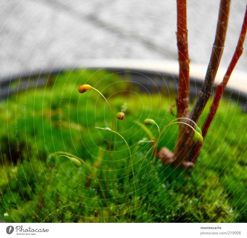 Moosblüten Natur Pflanze Grünpflanze Topfpflanze Farbfoto Tag Jungpflanze Stengel Schwache Tiefenschärfe Makroaufnahme Menschenleer