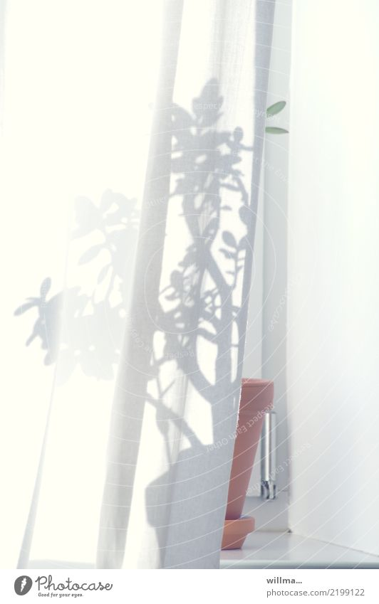 Schatten einer Zimmerpflanze auf dem Fenterbrett hinter der Gardine Häusliches Leben Wohnung Fensterbrett Blumentopf Vorhang Topfpflanze Geldbaum Crassula ovata