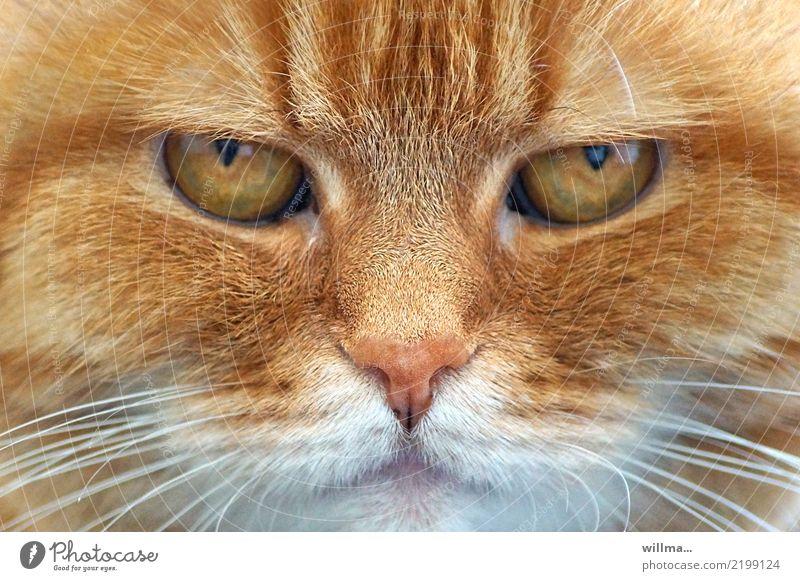 Augen einer wunderschönen rothaarigen Katze, Tierporträt Hauskatze Tiergesicht 1 beobachten niedlich Haustier rotbraun Blick in die Kamera Schnurrhaar