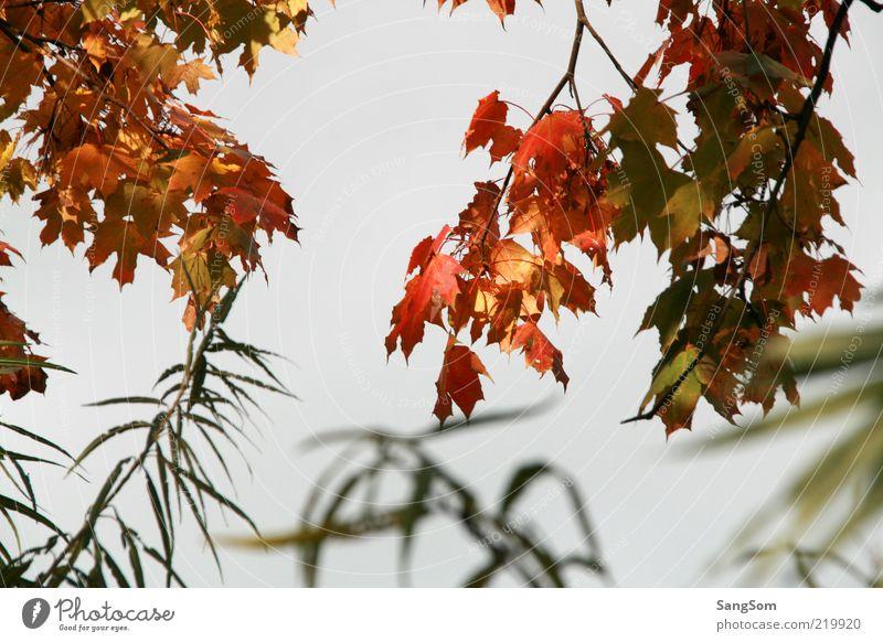 Herbstlich Natur Himmel Sträucher Blatt Holz schön braun mehrfarbig gelb gold grün rot Stimmung Zweige u. Äste Herbstfärbung Herbstlaub herbstlich Ahorn