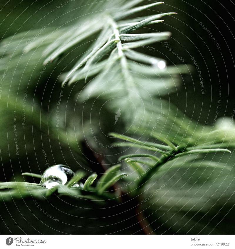 dunkeldüster Natur Baum grün Pflanze Blatt schwarz Umwelt nass Wassertropfen Wachstum leuchten silber exotisch Grünpflanze Nadelbaum