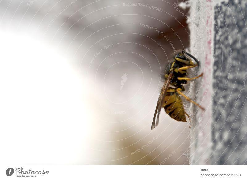 Gemeine Wespe Tier Tiergesicht Flügel 1 gelb grau schwarz Farbfoto Außenaufnahme Menschenleer Textfreiraum links Textfreiraum oben Textfreiraum unten Tag