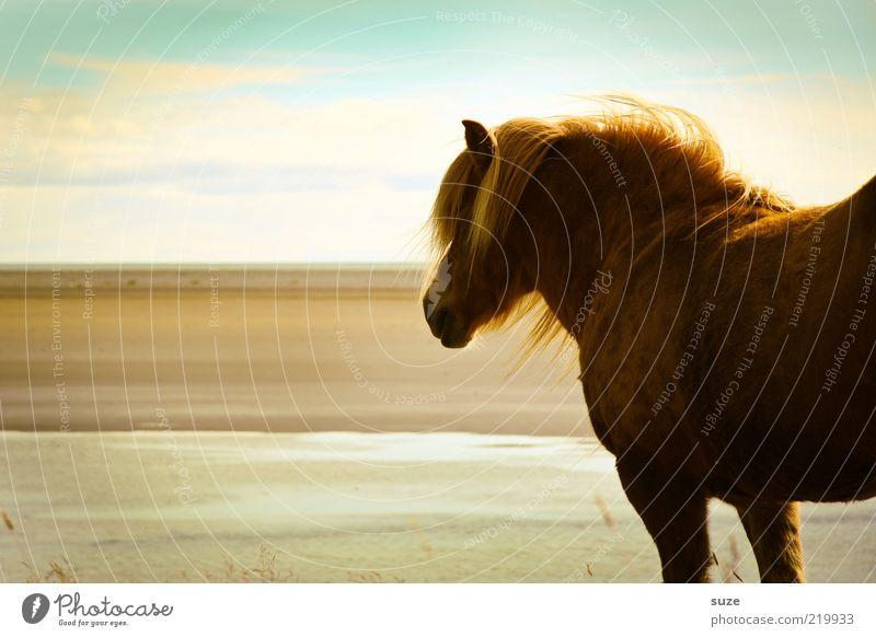 Wegsehen schön Strand Meer Natur Landschaft Tier Himmel Wolken Wind Küste Nutztier Wildtier Pferd stehen warten ästhetisch natürlich wild Stimmung Mähne Island
