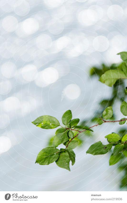Blattgrün Natur schön Pflanze Sommer Blatt Frühling hell glänzend frisch Wachstum Sträucher natürlich leuchten Originalität Zweige u. Äste sommerlich