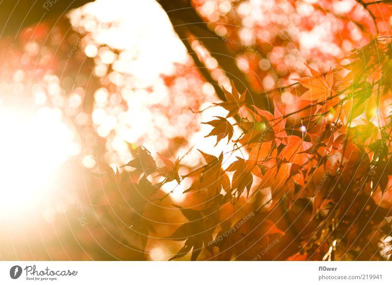 englische Herbst Sonne Natur Himmel Baum Blatt Wald hell gelb grün orange rot Stimmung Laubbaum blenden Ast herbstlich Herbstfärbung Farbfoto Außenaufnahme