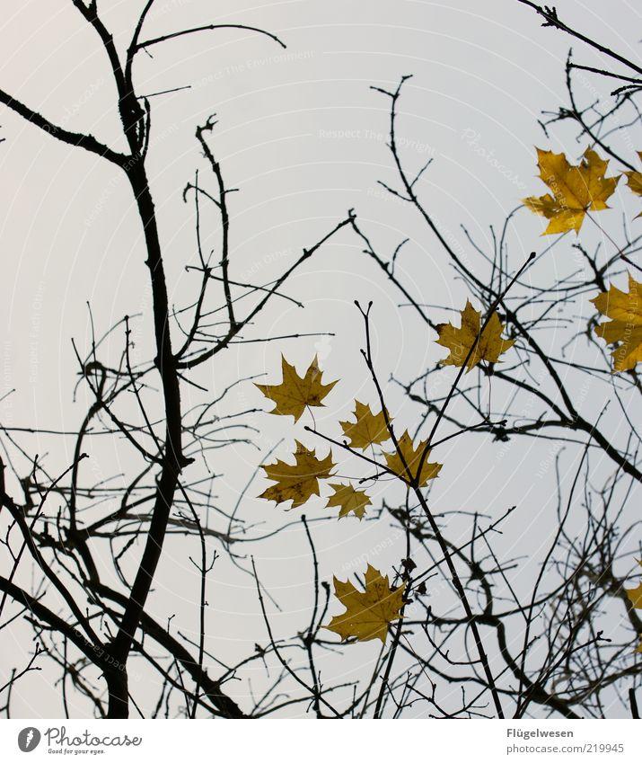 Herr Bst Herbst Pflanze Blatt Trauer Herbstlaub herbstlich Herbstfärbung Herbstbeginn Herbstwind Herbstwetter Herbsthimmel Ast Zweig Zweige u. Äste