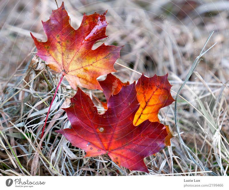 Herbst in Rot und Gold Natur schön rot Blatt Umwelt gold