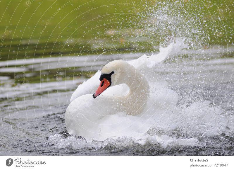 Schwanenhals weiß schön Tier Leben See Wellen glänzend elegant Wassertropfen Schwimmen & Baden Wildtier Tropfen Flügel außergewöhnlich Teich Bach