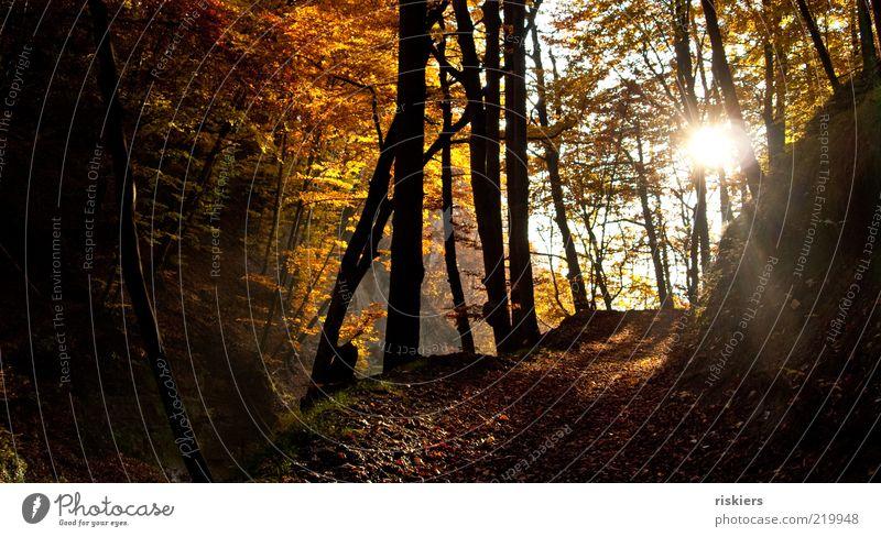 Märchenwald Umwelt Natur Landschaft Sonnenlicht Herbst Schönes Wetter Wald Stimmung Frieden Idylle Farbfoto Außenaufnahme Lichterscheinung Sonnenstrahlen