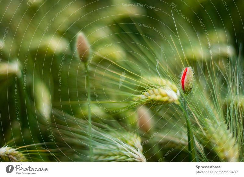 Mohnblume im Kornfeld Umwelt Natur Landschaft Pflanze Frühling Sommer Schönes Wetter Gras Nutzpflanze Getreide Gerste Gerstenfeld nachhaltig Umweltverschmutzung