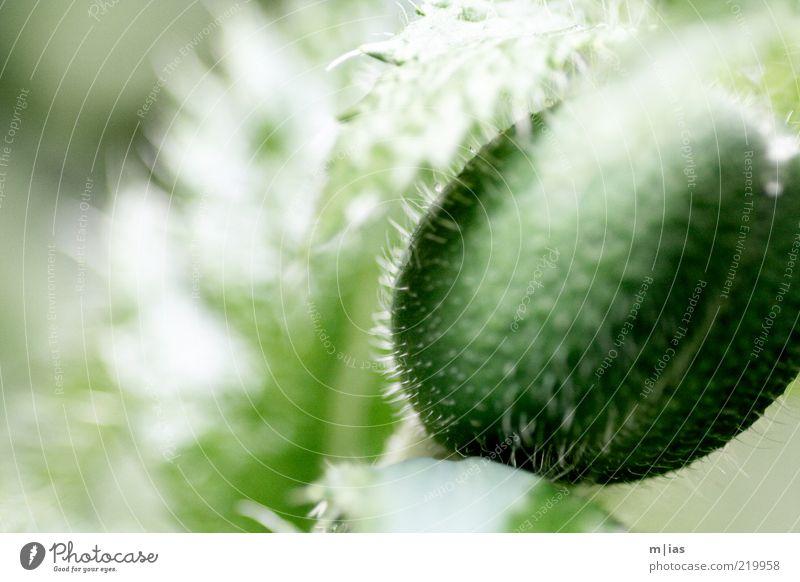 Mohn Lebensmittel Rauschmittel Natur Pflanze Sommer Blüte Grünpflanze Nutzpflanze Wildpflanze Blütenknospen Mohnkapsel ästhetisch kalt Vergänglichkeit Wachstum