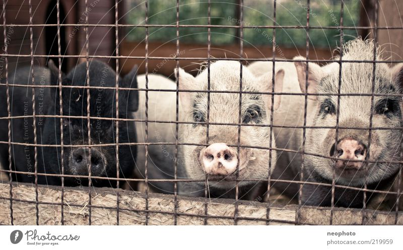 Integrationspolitik ruhig schwarz Tier Tiergruppe beobachten Bauernhof bizarr gefangen Schwein Gitter Haftstrafe Borsten Schweinschnauze Schwarzes Schaf