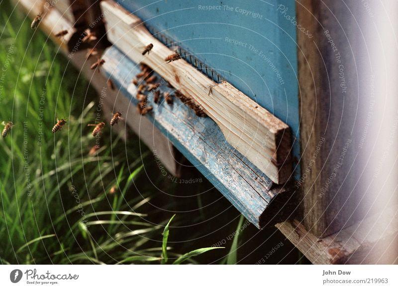Landeanflug Natur Tier Wiese Gras fliegen Tiergruppe Insekt Biene Eingang Schönes Wetter fleißig Schwarm Öffnung Nutztier diszipliniert emsig