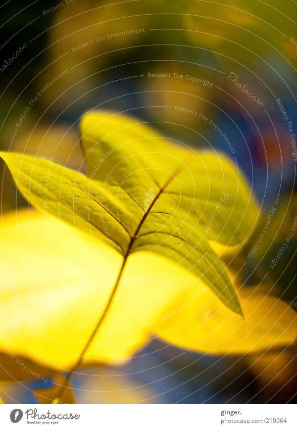 :-) sonnendurchflutet (-: Umwelt Natur Pflanze Klimawandel Schönes Wetter Blatt ästhetisch gelb Jahreszeiten Herbstlaub hell Stengel 1 Blattadern Herbstfärbung