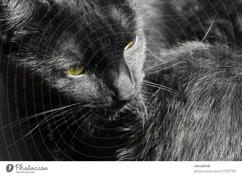 "Schwarze Katze Tier 1 beobachten Blick warten ästhetisch gelb grau schwarz achtsam Wachsamkeit Haustier Hauskatze Haare & Frisuren Fell ""Augen,"" Bart Farbfoto"