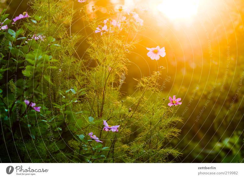 Letzte Sonne Natur Blume grün Pflanze Blüte Garten Wetter Klima violett heiß Blühend genießen Schönes Wetter exotisch blenden Klimawandel
