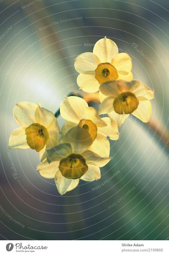 Lichtdurchflutete gelbe Narzissen (Narcissus) Design harmonisch Erholung ruhig Meditation Dekoration & Verzierung Tapete Bild Postkarte Ostern Natur Pflanze